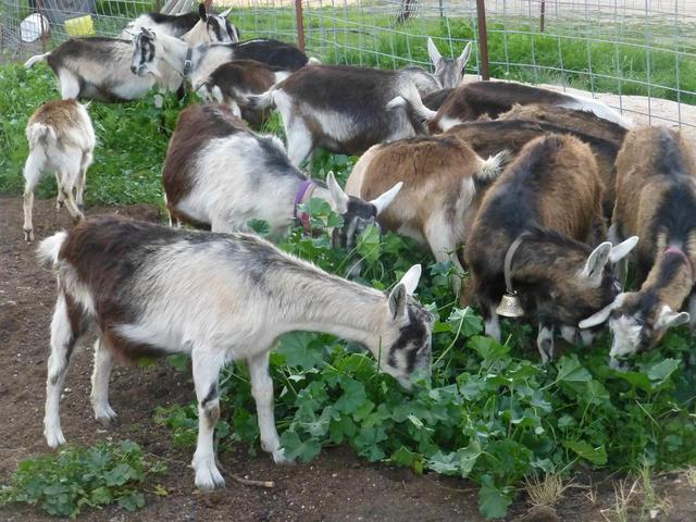 Purebred French Alpine Dairy Goats